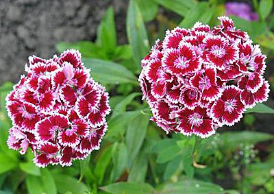 Турецкие гвоздики цветы