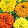 Цветок Тагетес Мюзик-Холл (смесь окрасок) 0,1 гр.