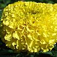Цветок Тагетес Лимонный Принц прямостоячий (0,25 гр.)