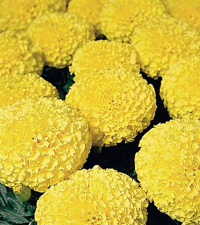 Тагетес цветок
