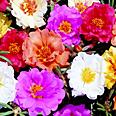 Цветок Портулак Барокко крупноцветковый (0,1 гр.)