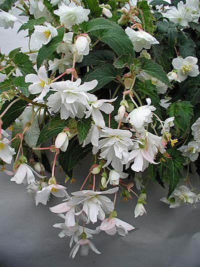 цветы бегония фото: