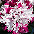 Цветок Петуния Венский Вальс (гибридная, бахромчатая) 10 шт.