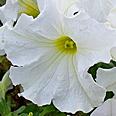 Цветок Петуния Белый шар (компактная, многоцветковая) 0,1 гр.