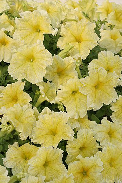 Бархат цветы похожие на петунию