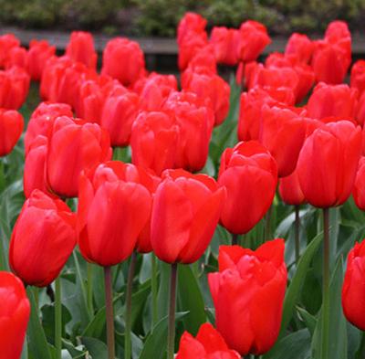 Фото тюльпан апельдорн в упаковке 10