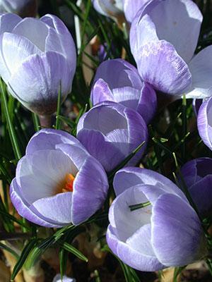 цветок крокус фото: