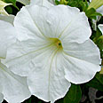 Цветок Петуния Морозко F1 (гибридная) 10 шт.