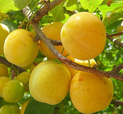 слива Желтая самоплодная (описание сорта, фото)