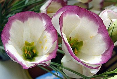 эустома сапфир розовая дымка