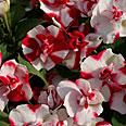 Цветок Бальзамин Афина Афродита (махровый) 5 шт.