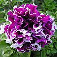 Цветок Петуния Пируэтт парпл (махровая, крупноцветковая) 10 шт.