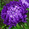 Цветок Астра Дюшес блю (пионовидная) 0,3 гр.