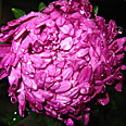 Цветок Астра Фиолетовая башня (пионовидная) 0,3 гр.