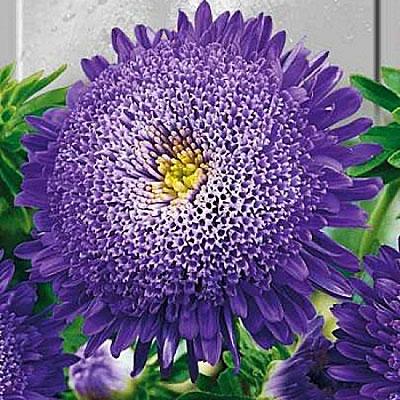 Цветок Астра Вероника (принцесса…