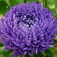 Цветок Астра Фламир Синяя (0,3 гр.)