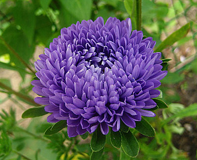 астра фото цветок