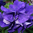 Цветок Петуния Дуо Блю (махровая, многоцветковая) 10 шт.