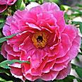 Пион Розовый Лотос (древовидный, лотосовидный)