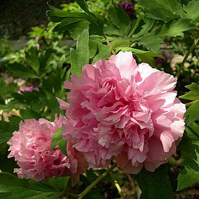 Древовидный пион фото цветов