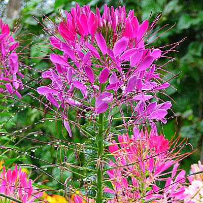 Фото цветок клеома вишнёвая королева