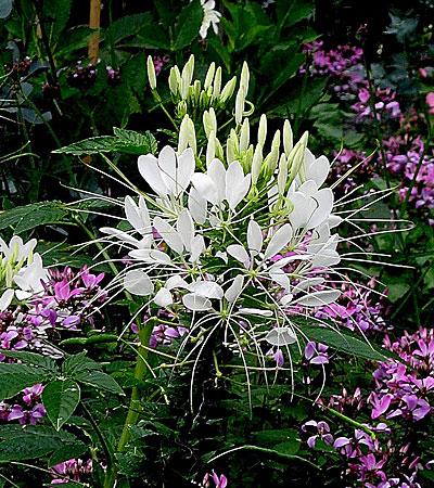 Фото цветок клеома белая королева