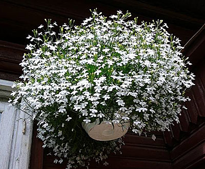 Фото цветок лобелия белый фонтан