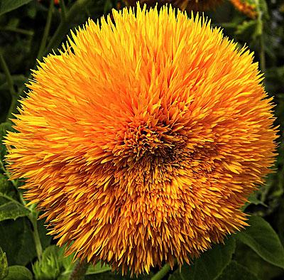 Фото цветок подсолнечник медвежонок