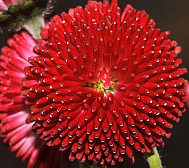 цветок маргаритка картинки