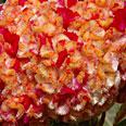 Цветок Целозия Корона (гребенчатая) 10 шт.