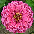Цветок Цинния Мечта (георгиноцветковая) 0,4 гр.