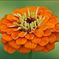 Цветок Цинния Оранжевый король (георгиноцветковая) 0,4 гр.