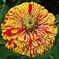 Цветок Цинния изящная Кан Кан (пёстрая смесь) 0,4 гр.
