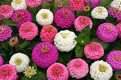 циния фото цветок