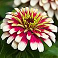 Цветок Цинния изящная Карусель (яркая смесь) 0,4 гр.