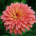 Цветок Цинния Сеньора (изящная) 0,2 гр.