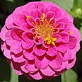 Цветок Цинния лиллипут Розовая (0,4 гр.)