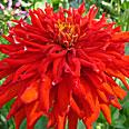 Цветок Цинния Бог Огня (кактусовидная) 0,4 гр.