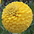 Цветок Цинния лиллипут Жёлтая (0,4 гр.)