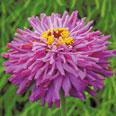 Цветок Цинния Лиловый Император (кактусовидная) 0,4 гр.