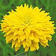Цветок Цинния Бог Солнца (кактусовидная) 0,4 гр.