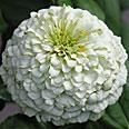 Цветок Цинния лиллипут Белая (0,4 гр.)