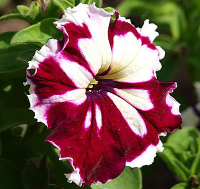 Фото цветок петуния кан кан бургунди