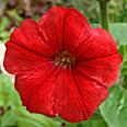 Цветок Петуния Пламя (0,1 гр.)