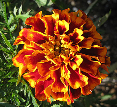 Фото цветок бархатцы болеро