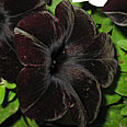 Цветок Петуния Дебонаир Блэк Черри (гибридная) 5 шт.