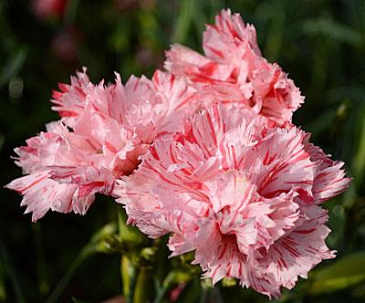 Махровые гвоздики цветы фото