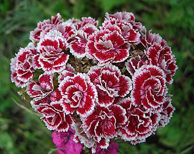 Турецкие гвоздики цветы 39