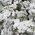 Цветок Статица Суприм белая (0,15 гр.)