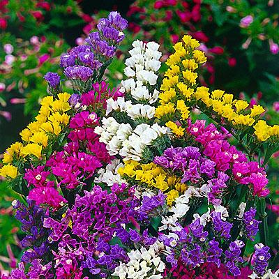 Фото цветок статица радужная смесь